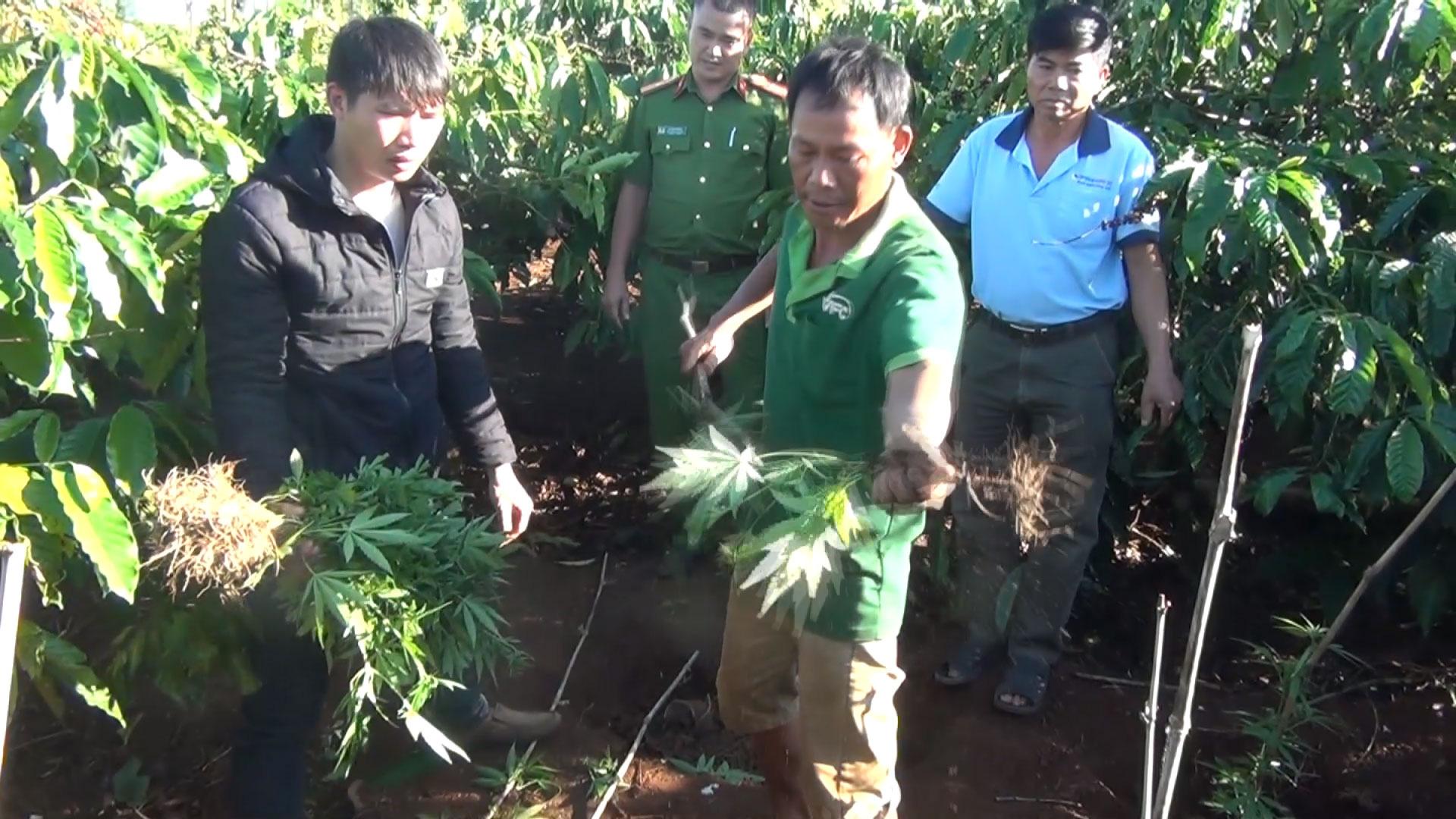 Phát hiện trong rẫy cà phê có hơn 100 cây cần sa được trồng trái phép