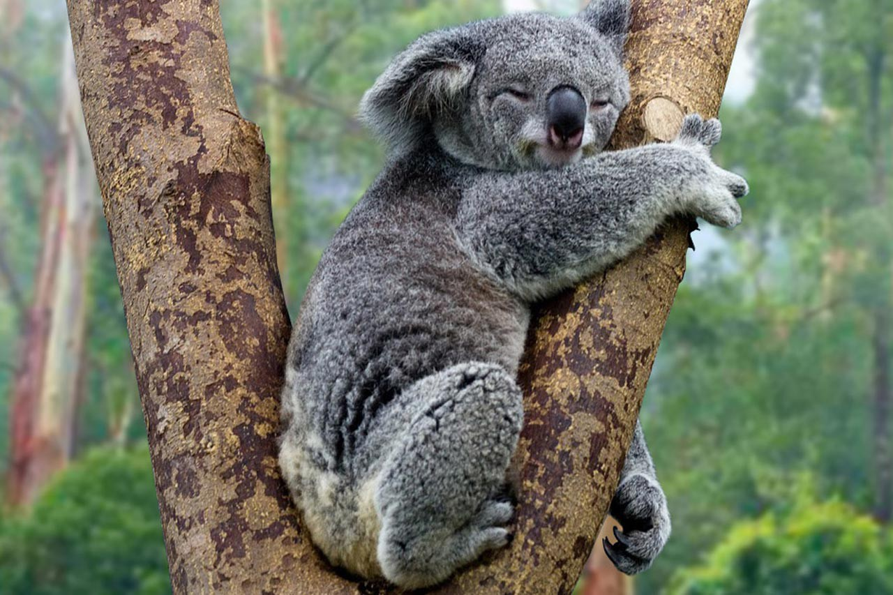 Gấu túi koala có nguy cơ tuyệt chủng vì tốc độ mất rừng ở Úc | Thế giới |  Media | Thanh Niên